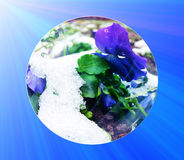 Fragile purple flower under the snow cover, early spring concept. Stock Image