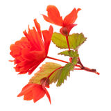 Fragile red begonia. Isolated on white background closeup Stock Photography