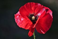 Fragile Red Poppy Flower in the wind on a green spring garden. Gentle movements in the breeze. Common Poppy. royalty free stock photography