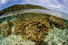 Fragile Reef Near Ambon. Fragile corals grow in the shallows near Ambon, Indonesia. This region harbors extraordinary marine biodiversity Royalty Free Stock Images