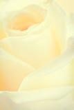Fragile Rose Royalty Free Stock Photos