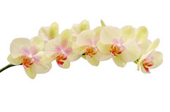 Fragile soft tint flower of orchid. Isolated on white Stock Photo