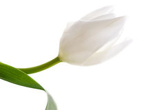 Fragile tulip Stock Photography