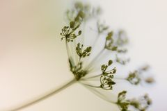 Fragile. Umbel Flowers on the Meadow in Summer royalty free stock images