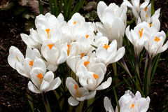 Fragile white crocus flowers Stock Photo