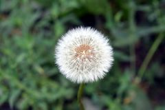 Fragile white dry dandelion stock photos