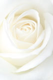 Fragile white rose. Bloom. Macro Royalty Free Stock Image
