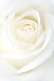 Fragile white rose. Bloom. Macro royalty free stock image