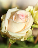 Fragile white rose. Macro. Royalty Free Stock Photography