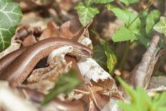fragilis αργό σκουλήκι anguis Στοκ Εικόνες