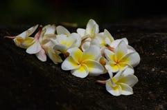 Fragipane flowers on stone royalty free stock image
