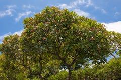 Fragipani-Baum Lizenzfreie Stockfotos