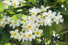 Fragipani-Blüte Stockbild