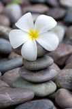 Fragipani on a stack of rocks Royalty Free Stock Images