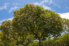 Fragipani träd Royaltyfria Foton