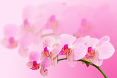 Fragle soft toned orchid flowers Stock Photography