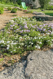 Fragment of the alpine slide with flowering phlox subulate Royalty Free Stock Photography
