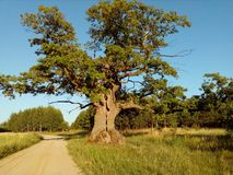 A fragment of an ancient oak growing near the village of Przybudki. royalty free stock image