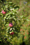 A fragment of an apple tree with leaves and red apples. Royalty Free Stock Images