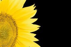 Fragment av den blommande solroscloseupen som isoleras på en svart bakgrund Arkivfoton