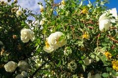 Fragment av den frodiga dogrosebusken som dubbas rikt med vita blommor arkivfoton