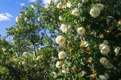 Fragment av den frodiga dogrosebusken som dubbas rikt med vita blommor royaltyfria foton