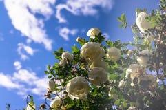 Fragment av den frodiga dogrosebusken som dubbas rikt med vita blommor arkivbilder