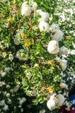 Fragment av den frodiga dogrosebusken som dubbas rikt med vita blommor royaltyfria bilder