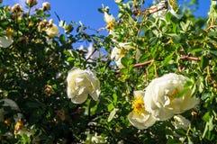 Fragment av den frodiga dogrosebusken som dubbas rikt med vita blommor royaltyfri foto