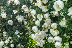 Fragment av den frodiga dogrosebusken som dubbas rikt med vita blommor royaltyfri fotografi