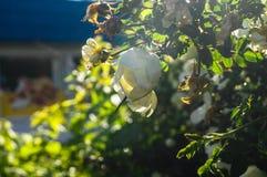 Fragment av den frodiga dogrosebusken som dubbas rikt med vita blommor arkivfoto