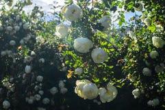 Fragment av den frodiga dogrosebusken som dubbas rikt med vita blommor royaltyfri bild