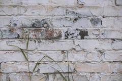 Fragment av den kalkade gamla tegelstenväggen med den gröna stjälk av gräs, bakgrund Royaltyfria Bilder