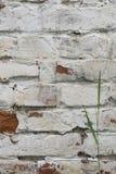 Fragment av den kalkade gamla tegelstenväggen med den gröna stjälk av gräs, bakgrund Fotografering för Bildbyråer