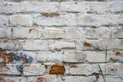 Fragment av den kalkade gamla tegelstenväggen med den gröna stjälk av gräs, bakgrund Royaltyfri Bild