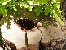 Fragment av en gammal stubbe av det klippta trädet som har ruttnat centralen Fotografering för Bildbyråer