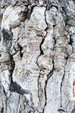 fragment av ett gammalt virvlande runt träd Royaltyfri Bild