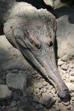 Fragment av huvudet av en stor krokodilsömn Arkivbild