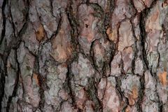 Fragment of the bark of an old pine. Ecological natural background stock photography