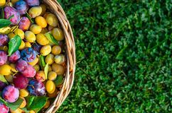 Fragment of a basket filled with ripe plum berries stock images