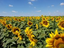 Beautiful field with sunflower in Russia. Fragment of a beautiful field with sunflower in Russia Royalty Free Stock Photo