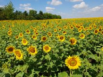 Agricultural cultivation of sunflower in the field. Russia. Fragment of a beautiful field with sunflower in Russia Stock Photo
