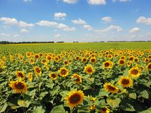 Fragment of beautiful field with sunflower in Russia. Fragment of a beautiful field with sunflower in Russia Stock Images