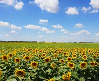 Fragment of beautiful field with sunflower in Russia. Fragment of a beautiful field with sunflower in Russia Stock Photo