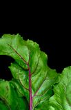 Fragment of beet haulm closeup on isolated black background Royalty Free Stock Photo