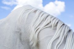 Fragment of bent neck of white horse with mane against blue sky Royalty Free Stock Photography