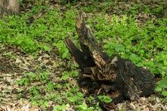 Fragment d'un champ d'herbe brûlée avec la nouvelle herbe verte fraîche sans personnes, animaux photos stock