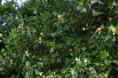 Fragment d'un liriodendron de floraison Photos stock