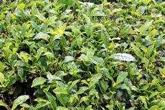 Fragment d'une plantation de thé et d'un x28 ; fin-up& x29 ; avec de jeunes feuilles de thé sur l'île de San Miguel Image stock
