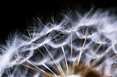Fragment of dandelion Stock Image